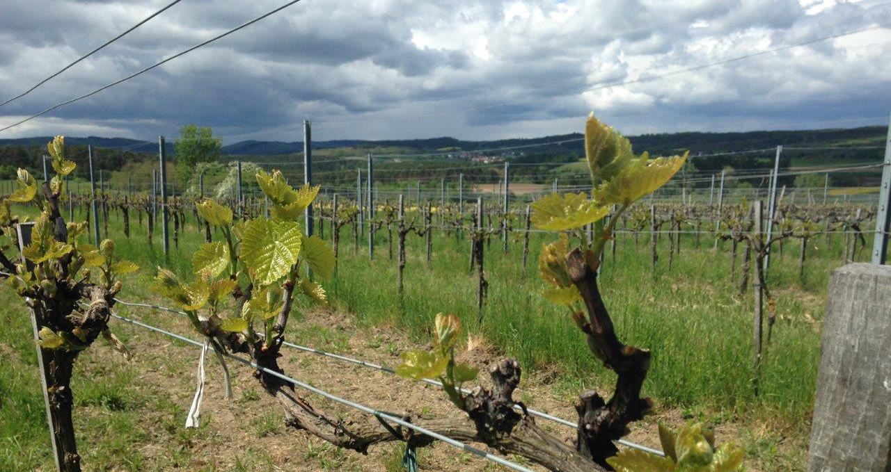 Loimerwein im Mai